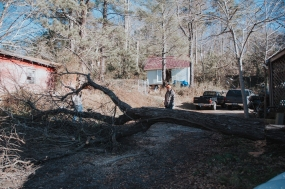 This is right after the tree was cut down. Tony is inspecting it, while Daddy is cutting it up into movable pieces.